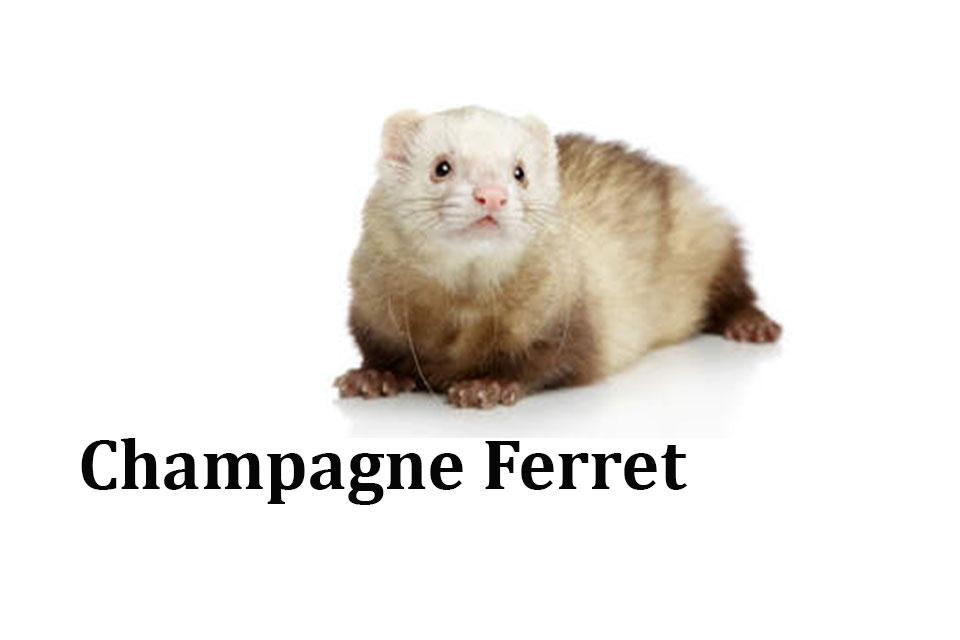 Champagne Ferret