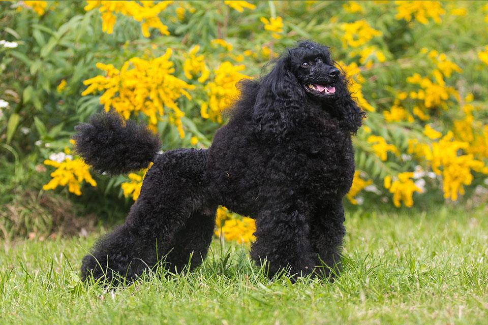 Characteristics of the Moyen Poodle Dog