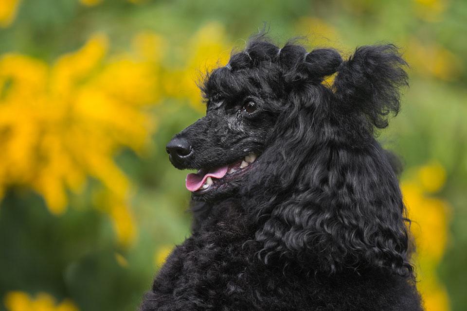 What is a Moyen Poodle